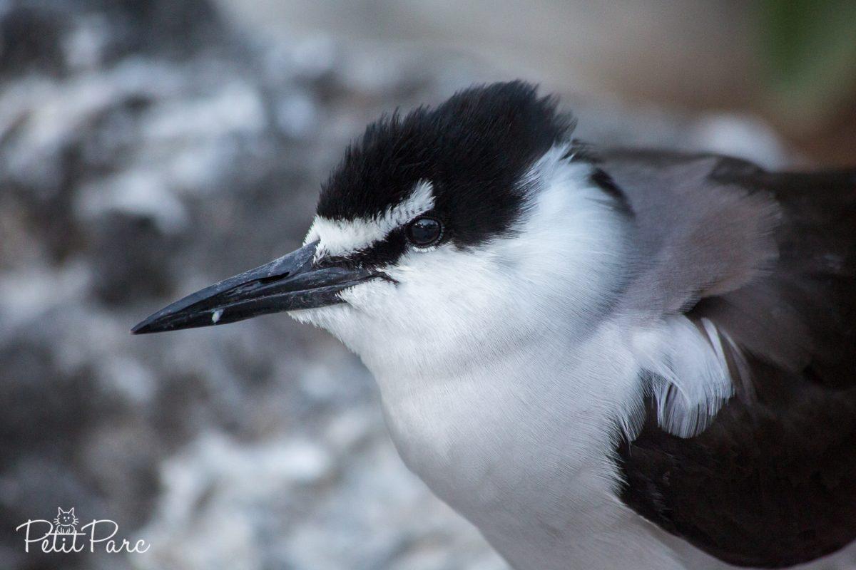 Les oiseaux de Lady Elliot Island