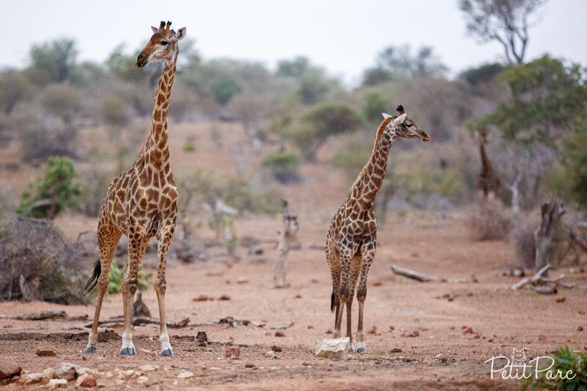 Les girafes repèrent les lieux
