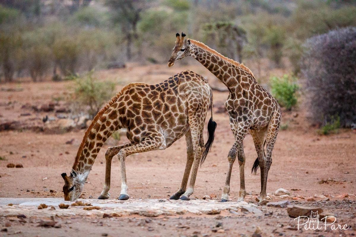 Girafes au point d'eau