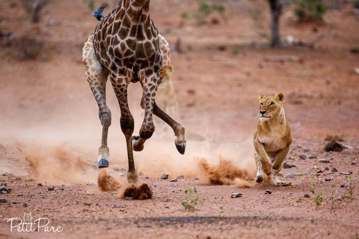 Lionnes chassant les girafes