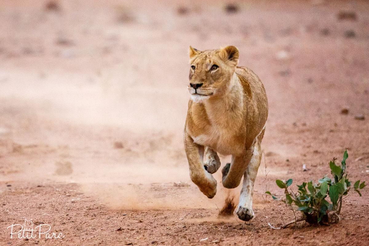 Lionne en pleine chasse