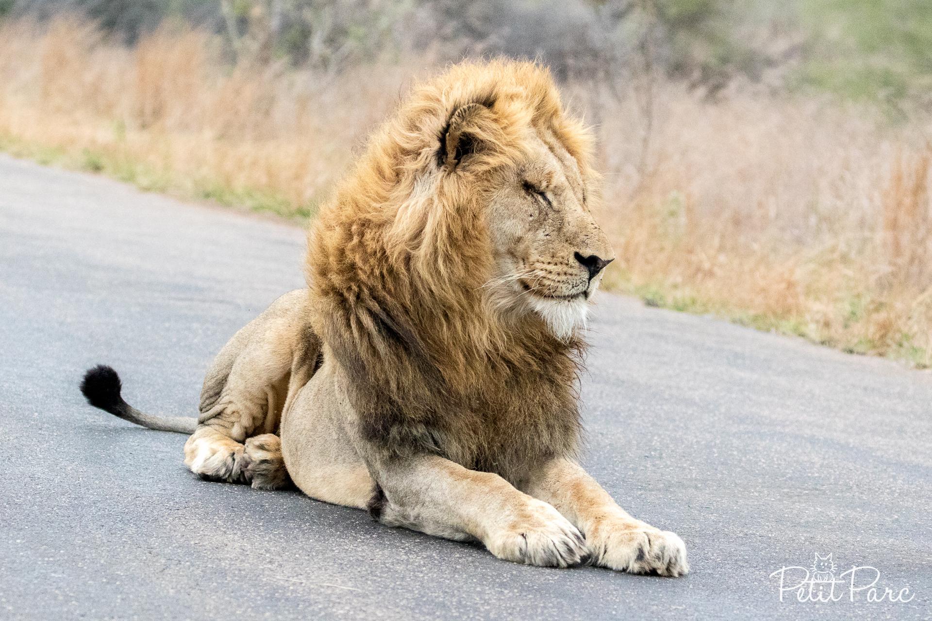 Lion sur la route
