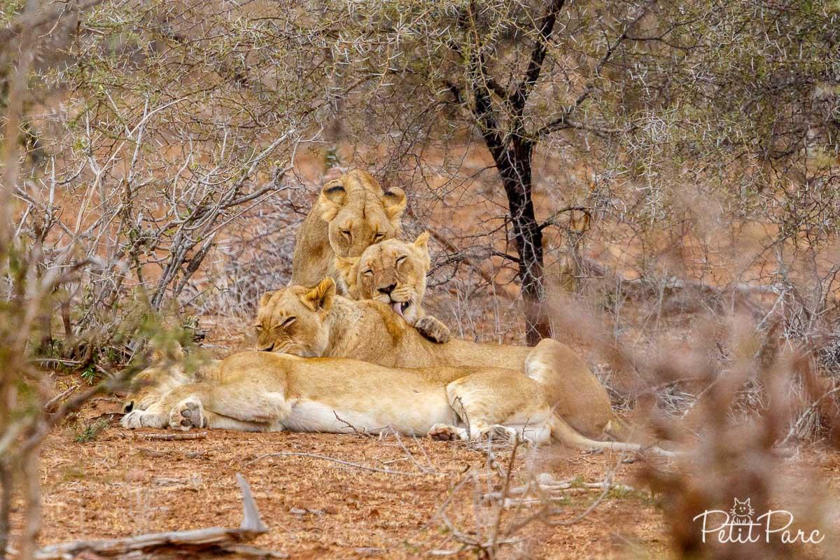 Séance de toilettage chez les lionnes