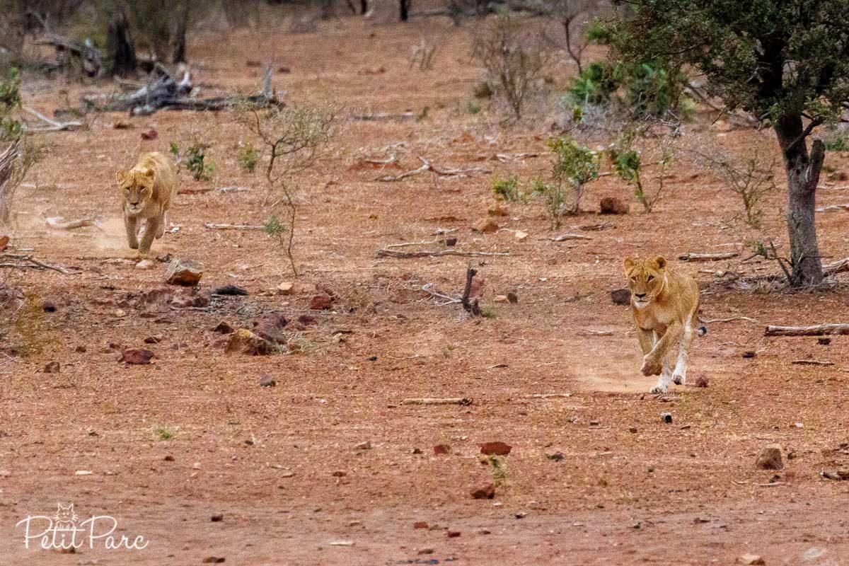 Lionnes en pleine chasse