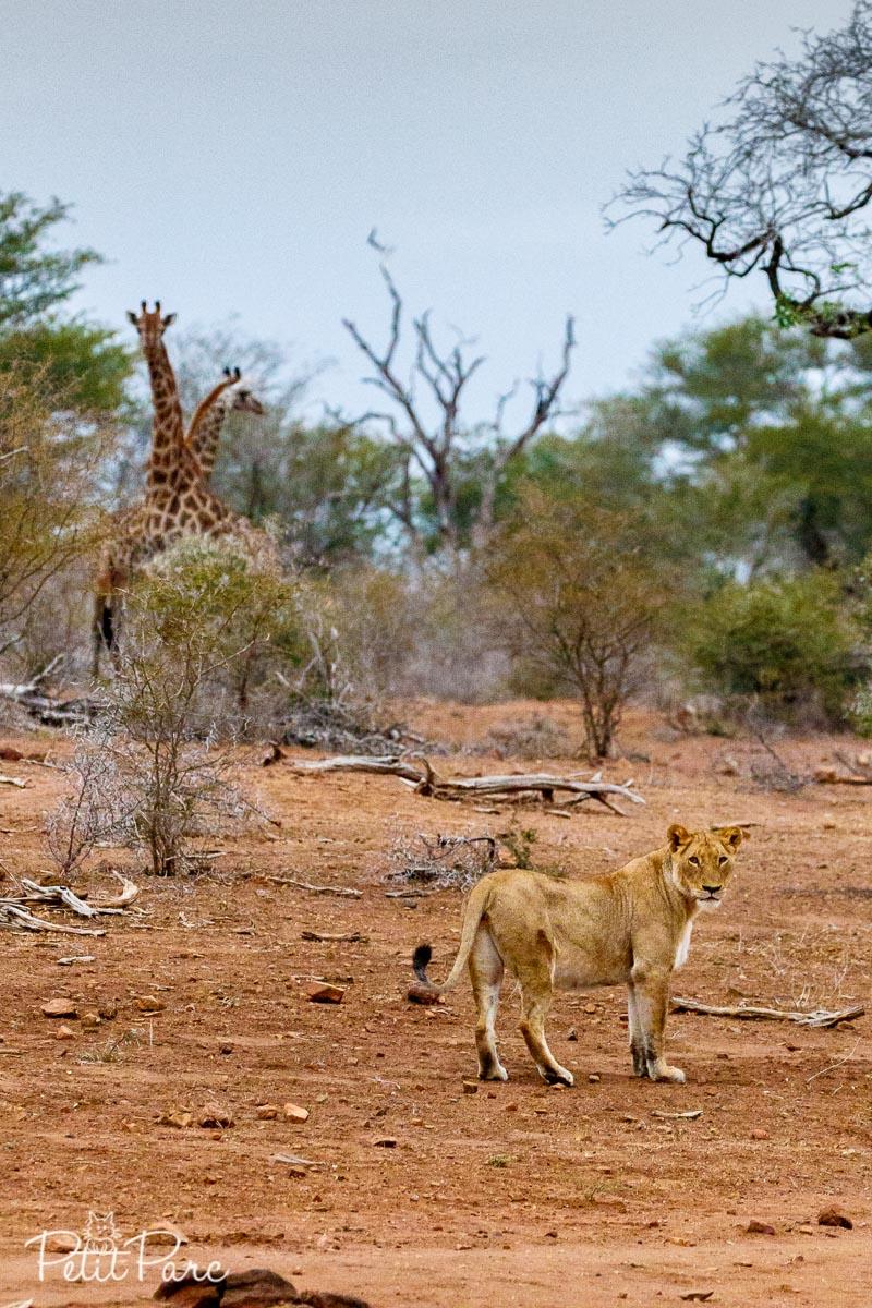Les lionnes abandonnent