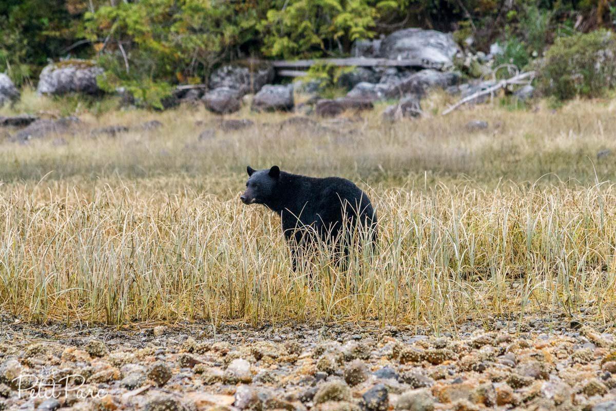Ours noir // Black bear
