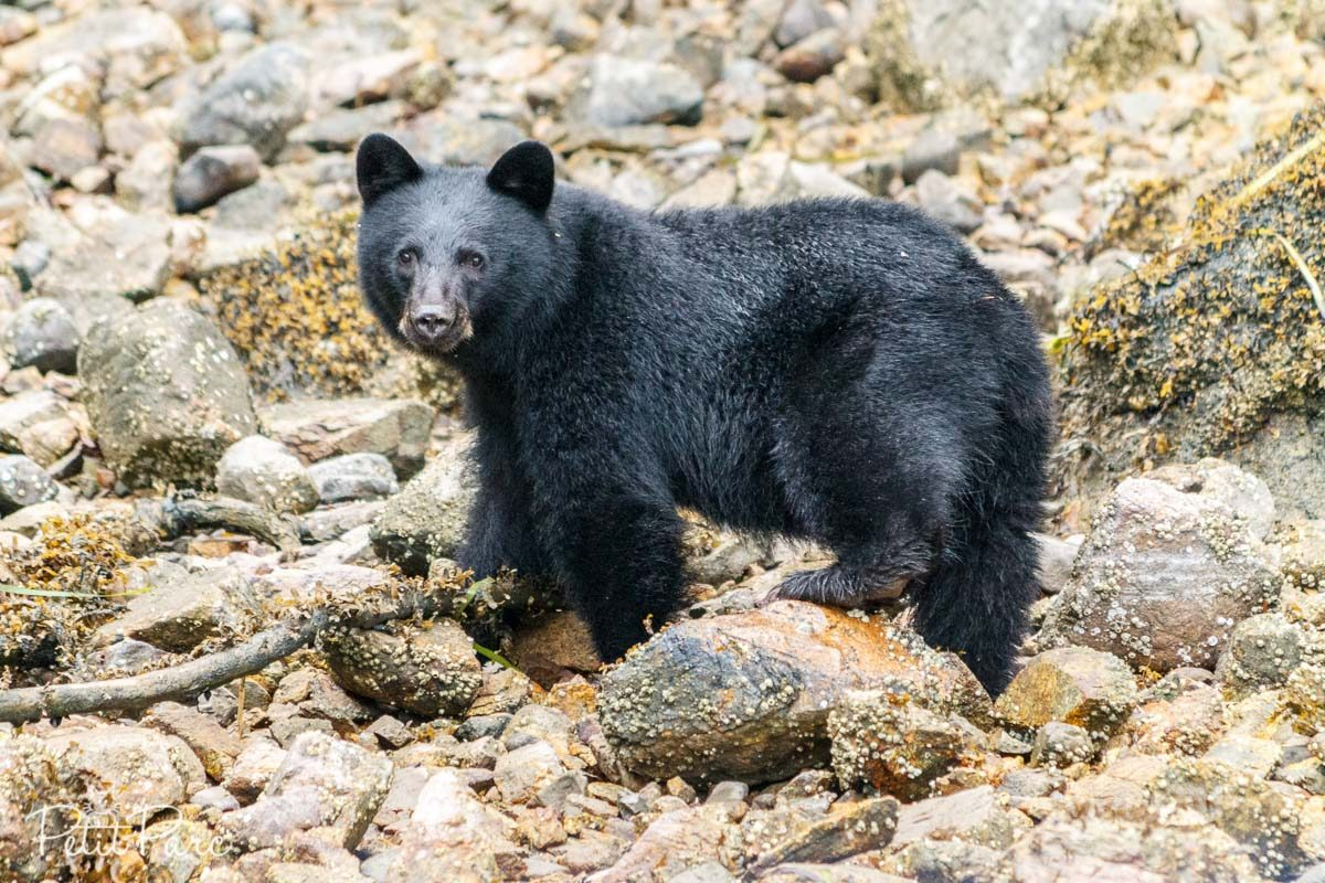 Ours brun // Black bear