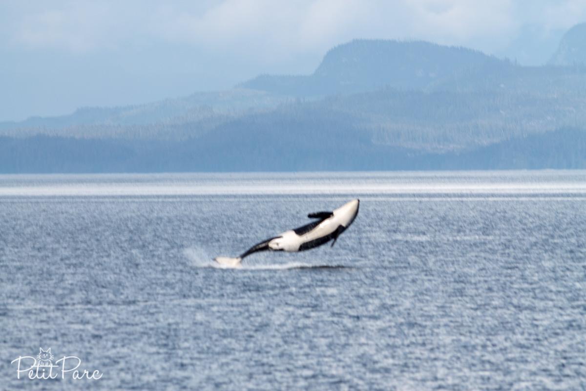 Orque en plein saut // Breaching orca