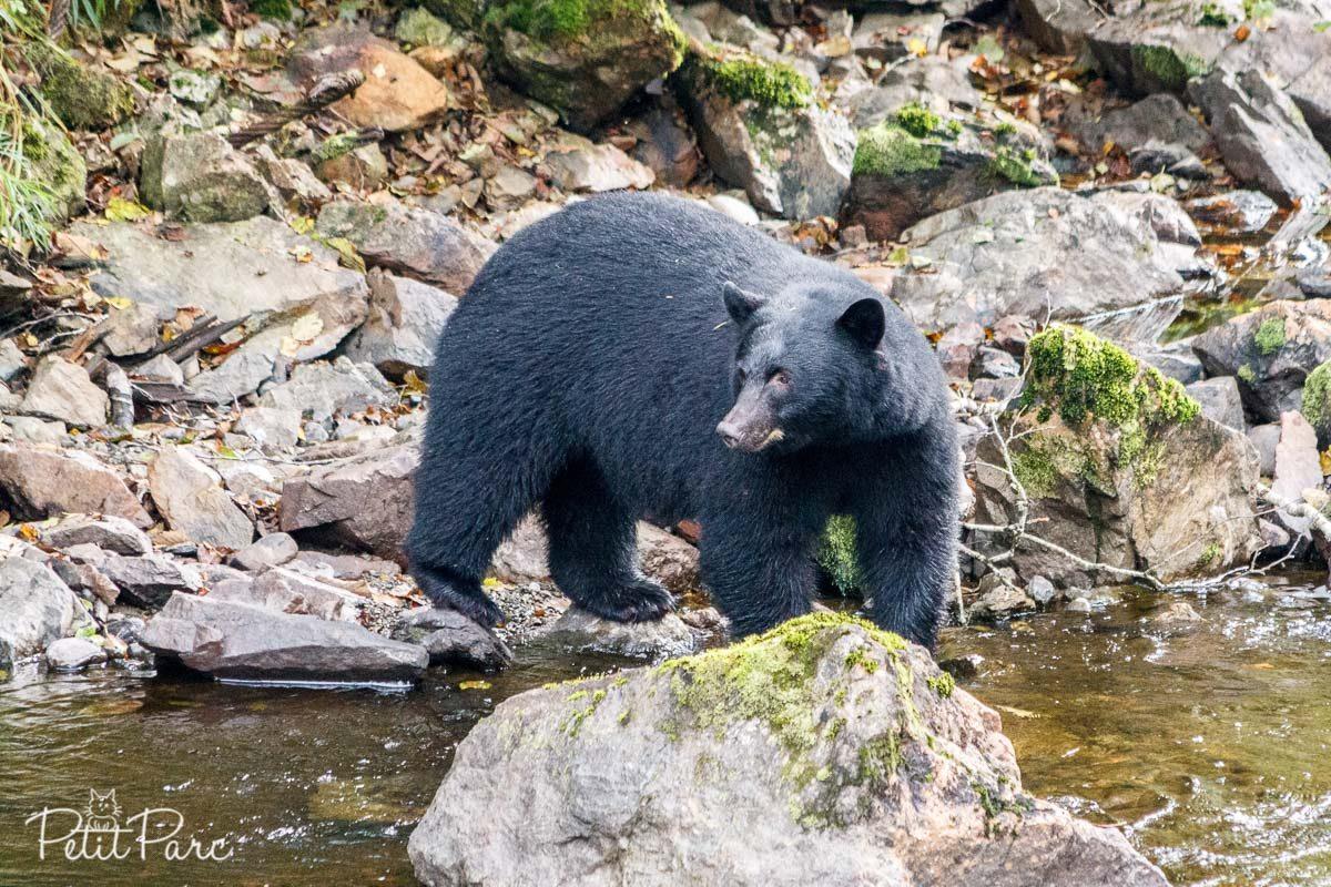 Ours brun // Black bear