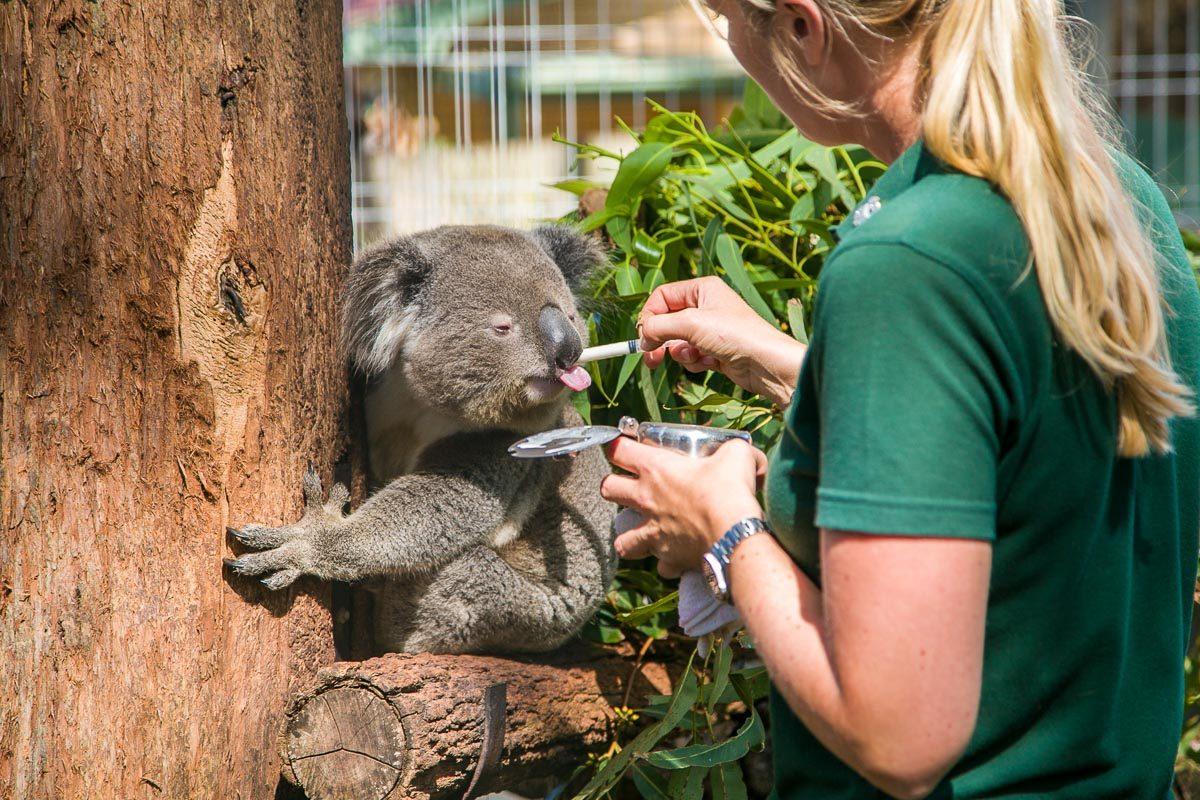 Koala Hospital Xavier