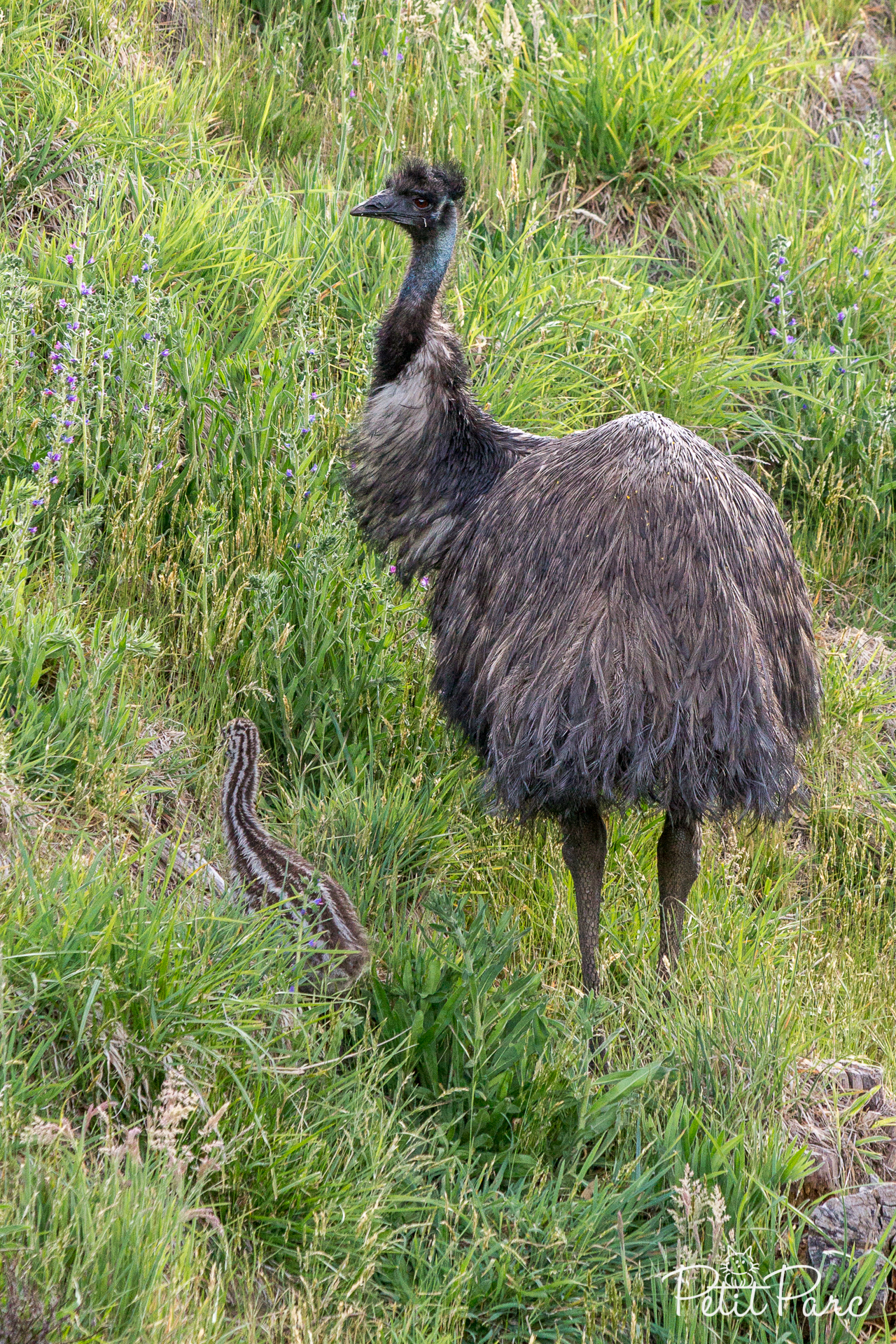 Emeu et son petit