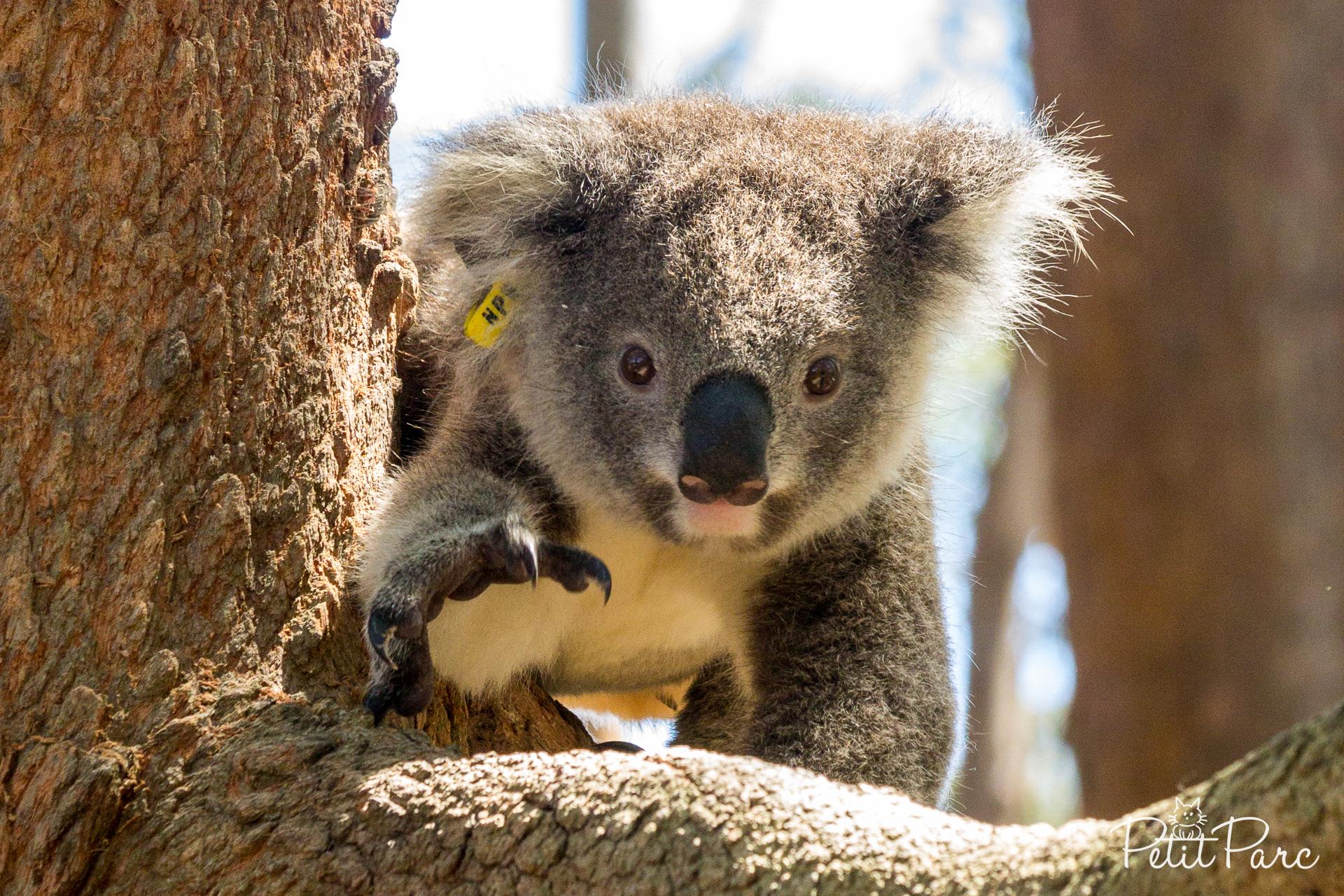 Koala Hospital, Port Macquarie