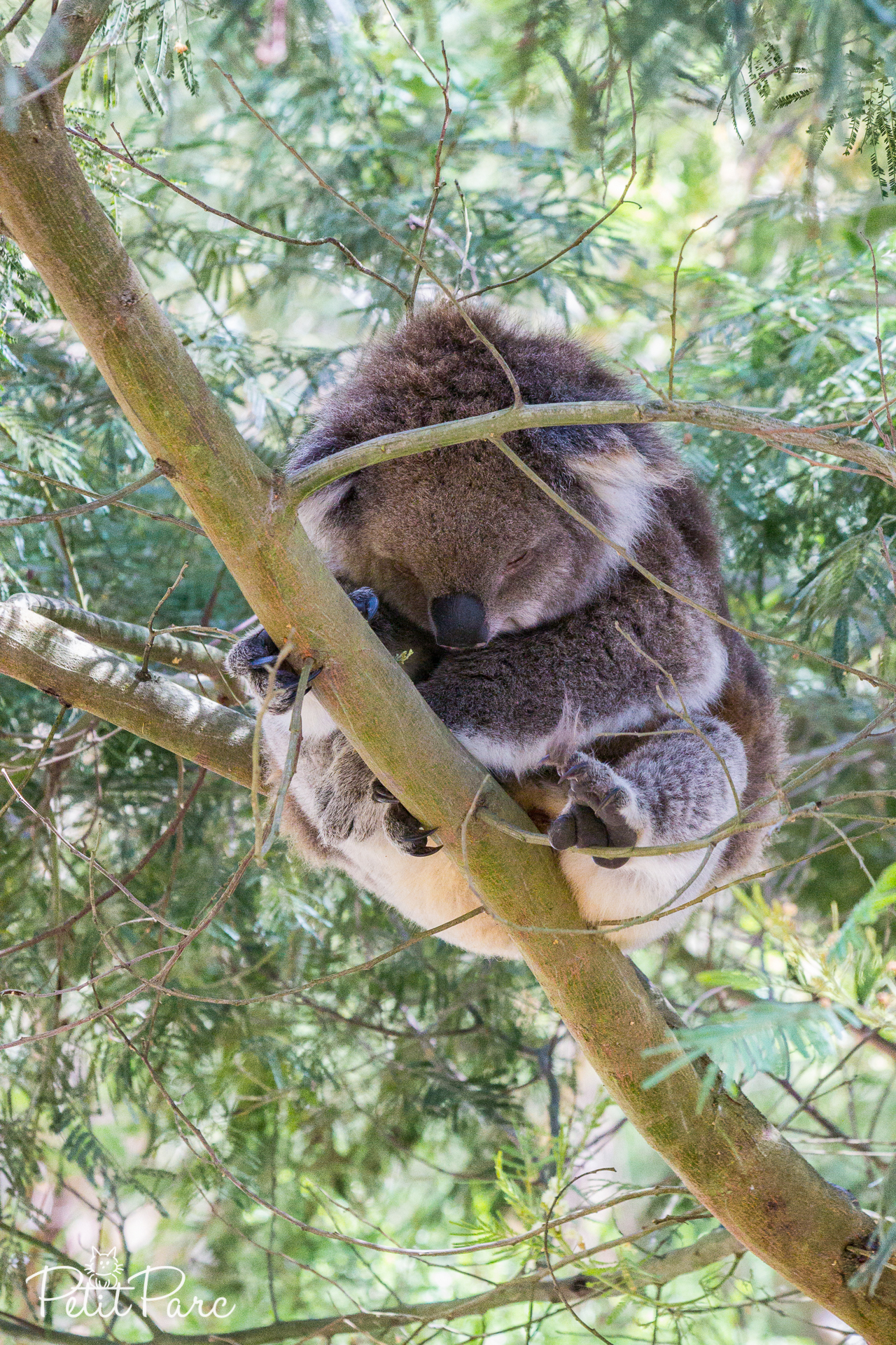 Koala Conservation Center