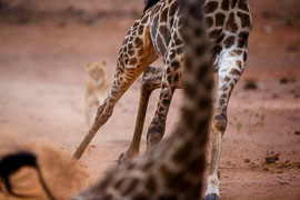 Chasse à la Girafe