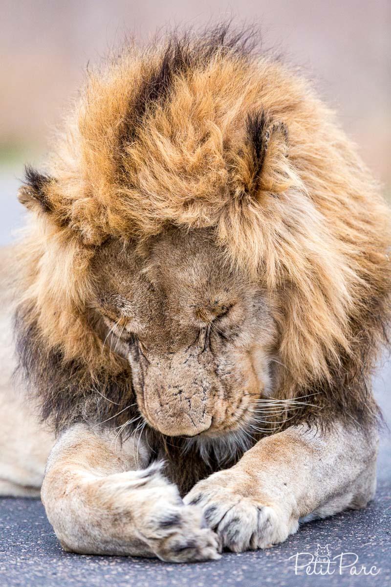 Un lion sur la route...