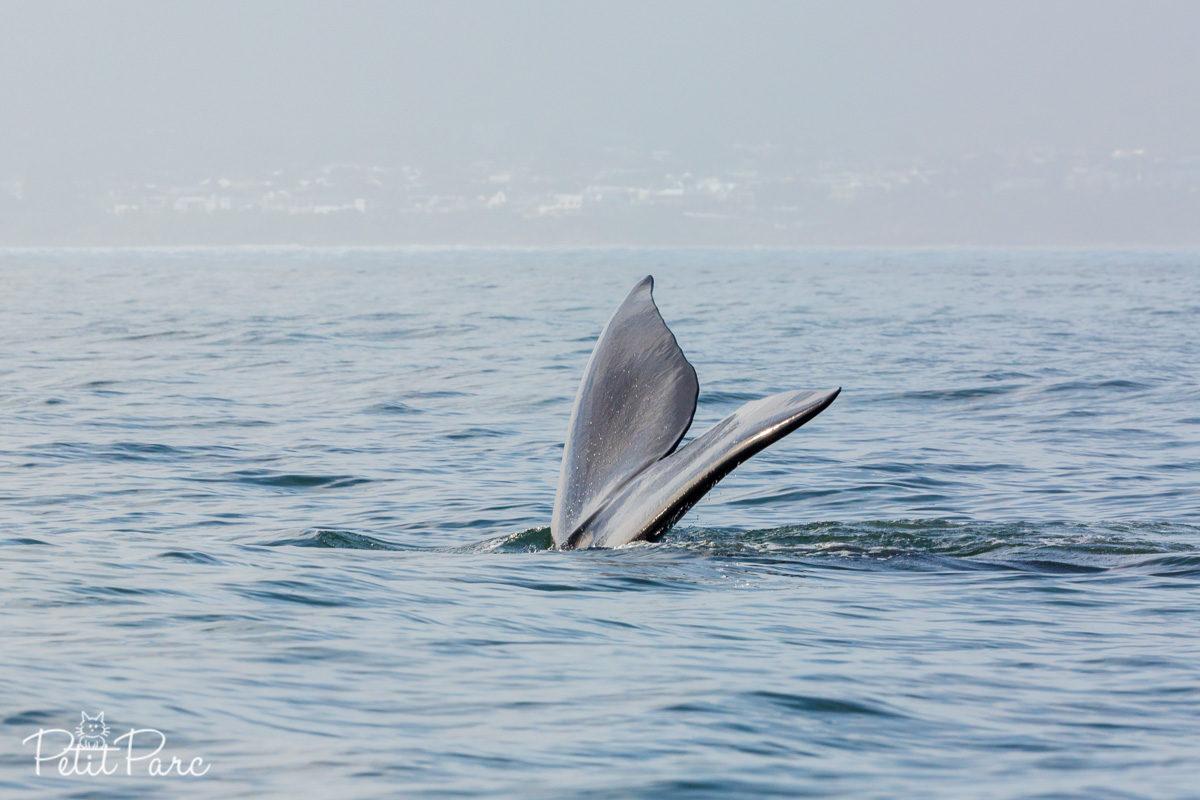 Queue d'une baleine franche australe
