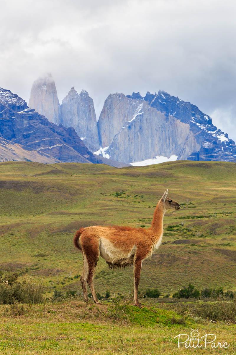 Guanaco devant Las Torres del Paine