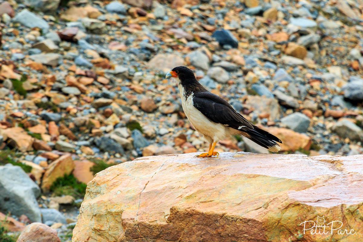 Oiseau à la Laguna Torre