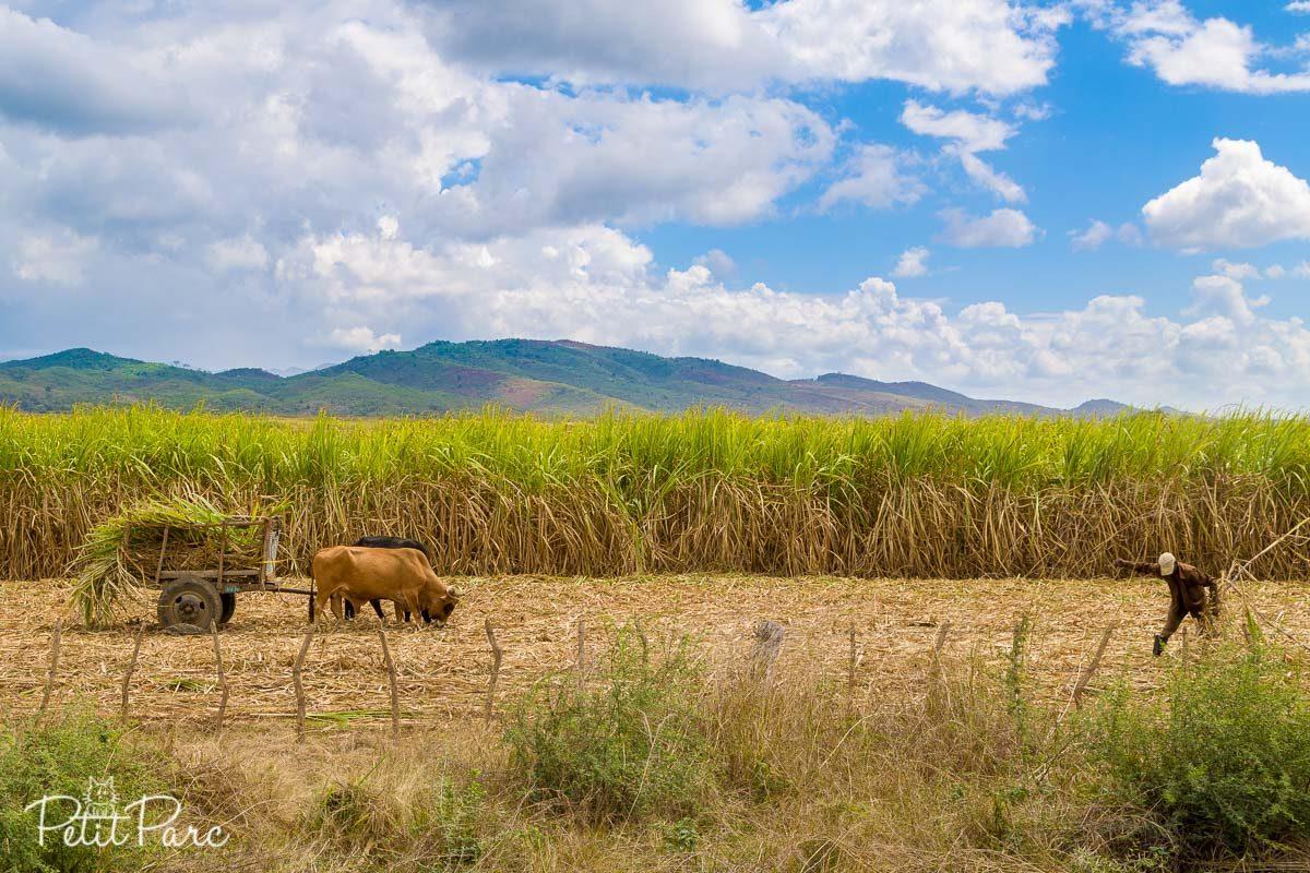 Récolte manuelle de la canne à sucre à Cuba