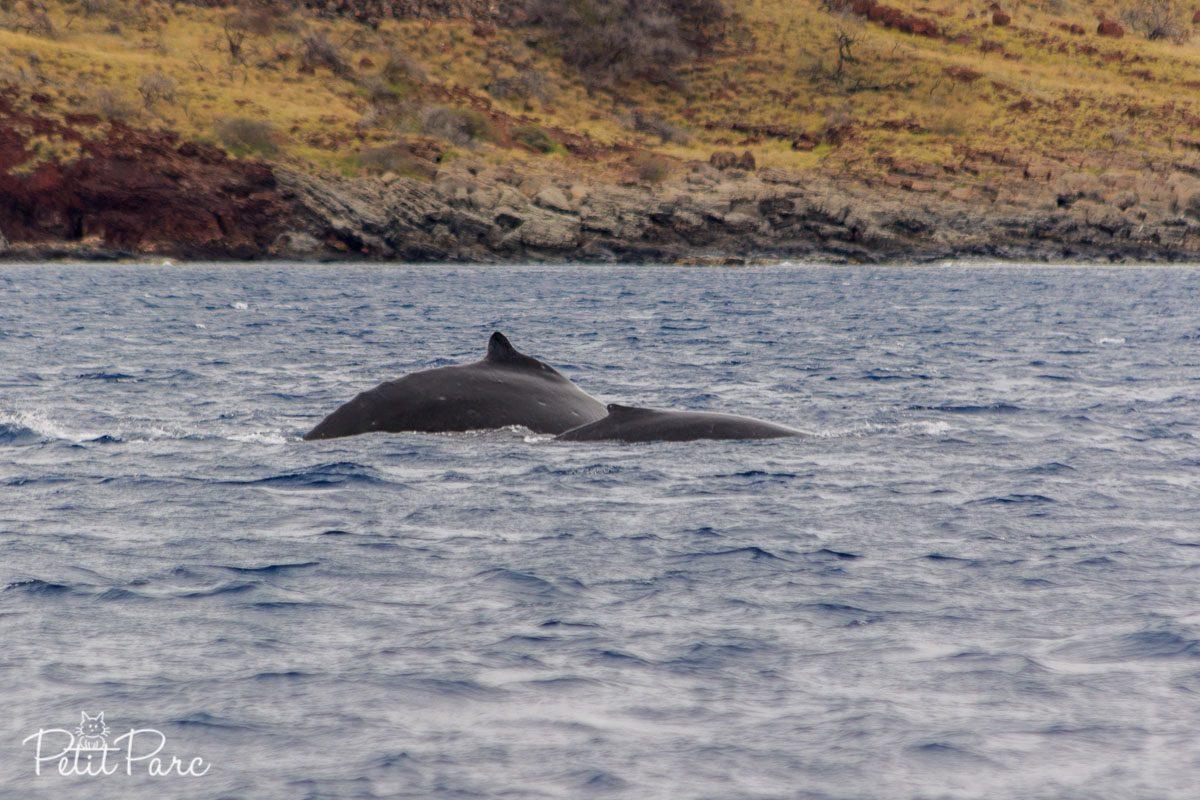 Baleineau à bosse et adulte