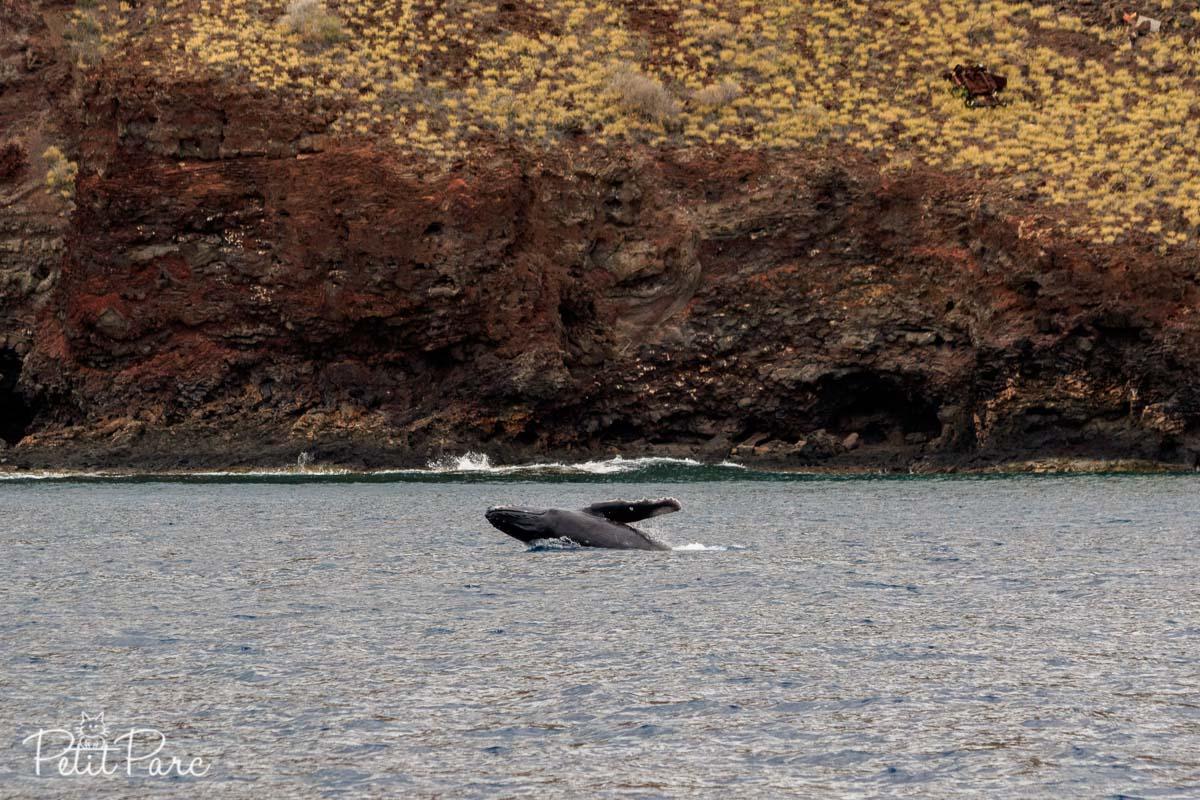 Baleineau à bosse saut