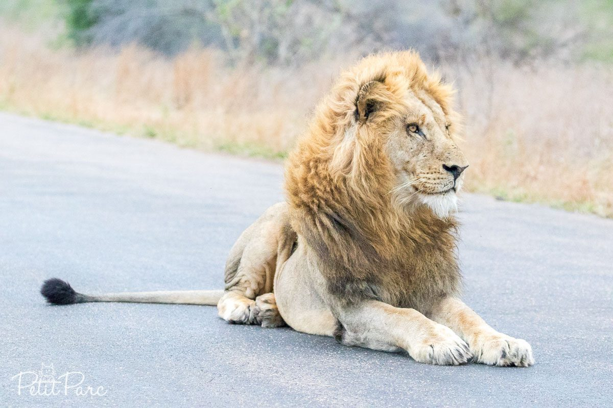 Lion assis sur la route