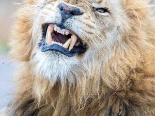 Lion qui montre les crocs