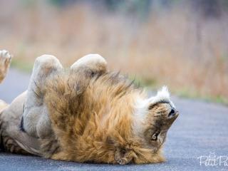 Lion couché sur le dos