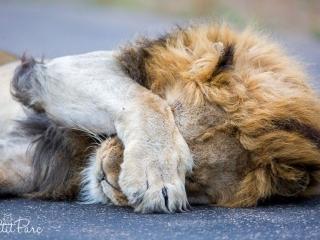Lion avec sa patte sur la face