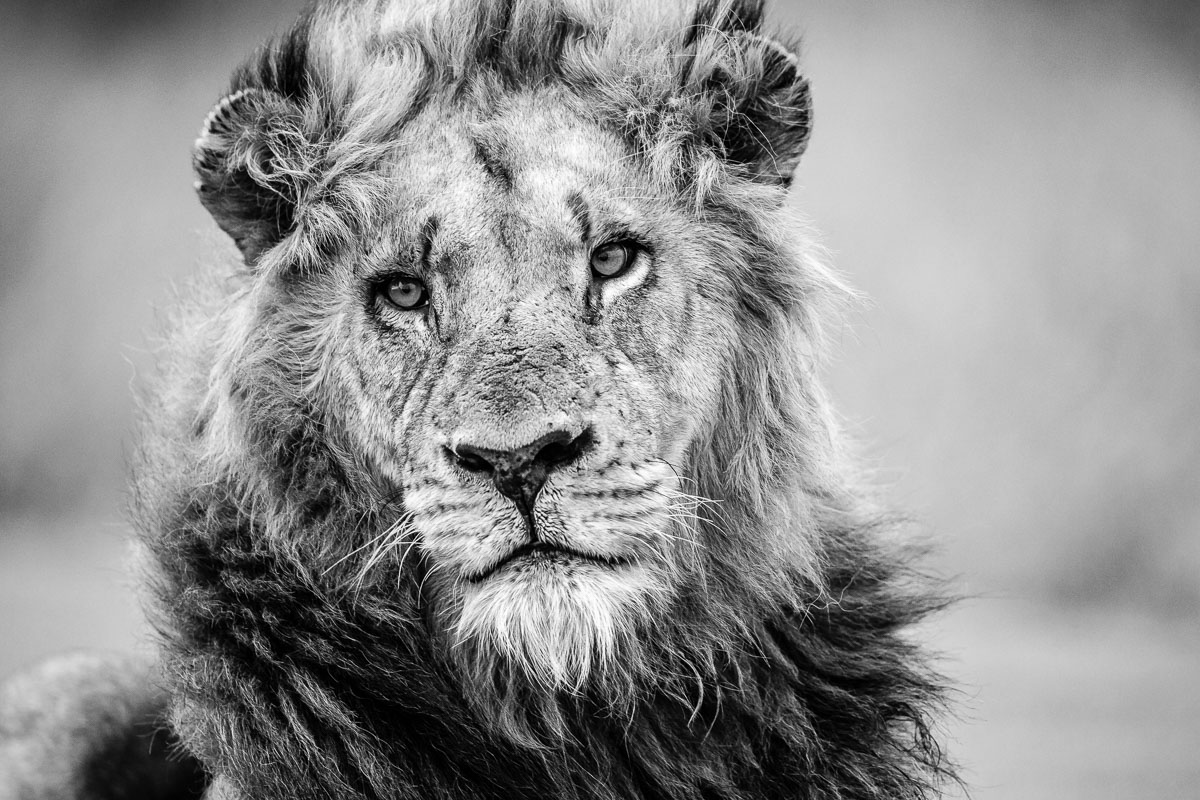 Portrait royal lion couverture