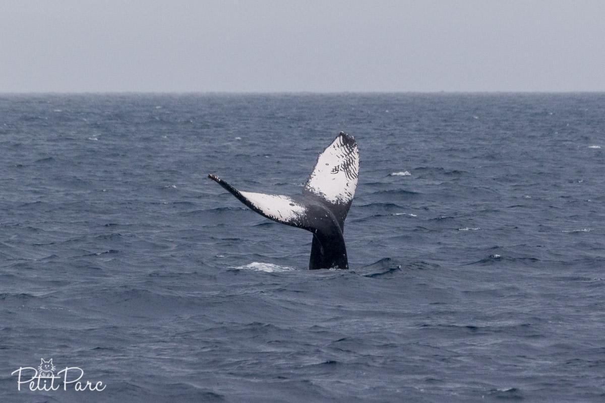 Baleine à bosse - Nageoire caudale
