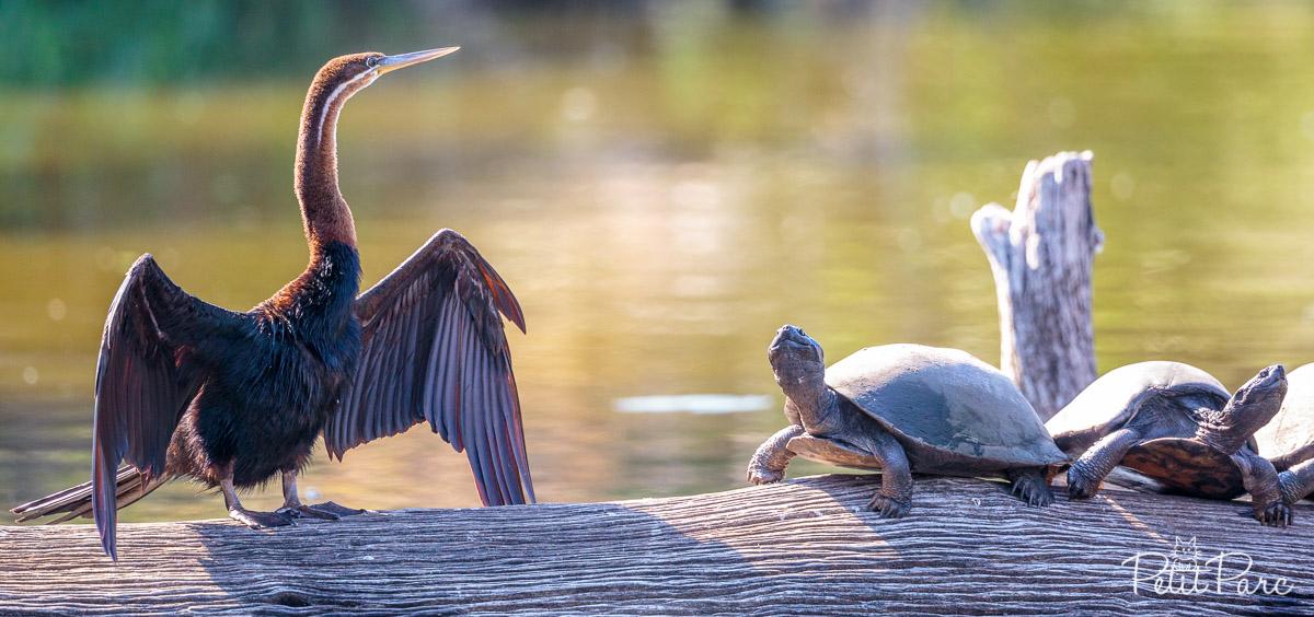 Anhingidae ou Oiseau-serpent