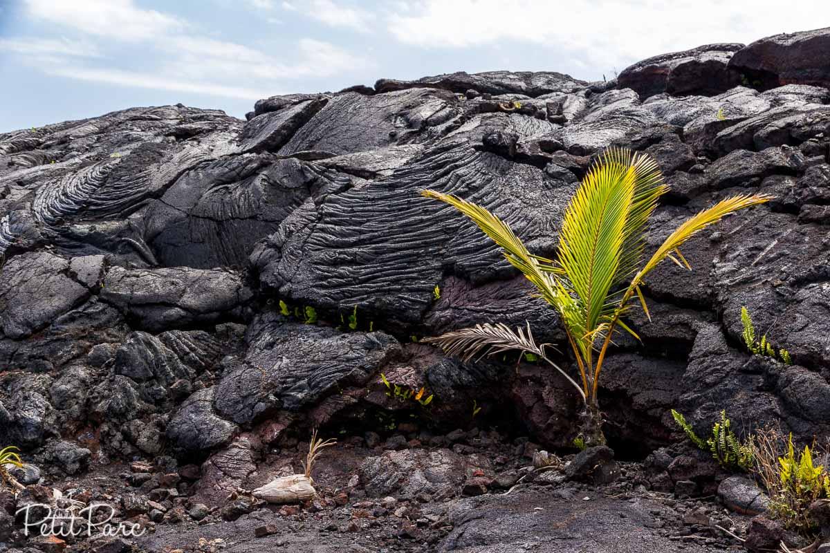 Jeune palmier à Kaimu beach