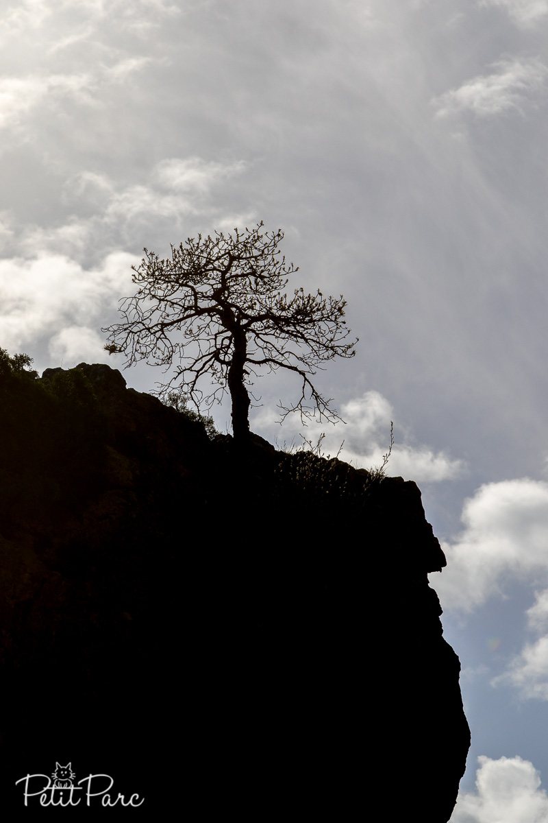 Une photo en contrejour d'un pin qui pousse  dans la roche