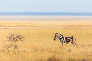 Zebre plaine Etosha