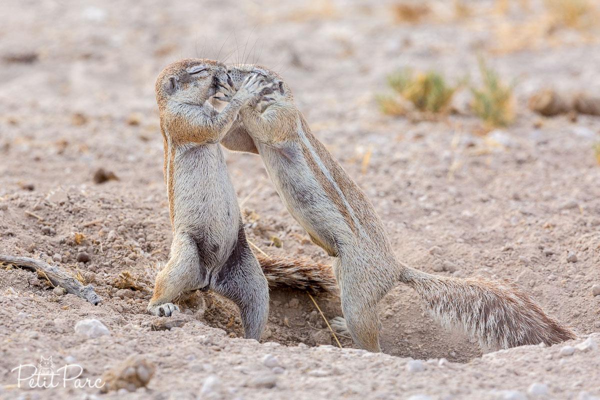Écureuils terrestres