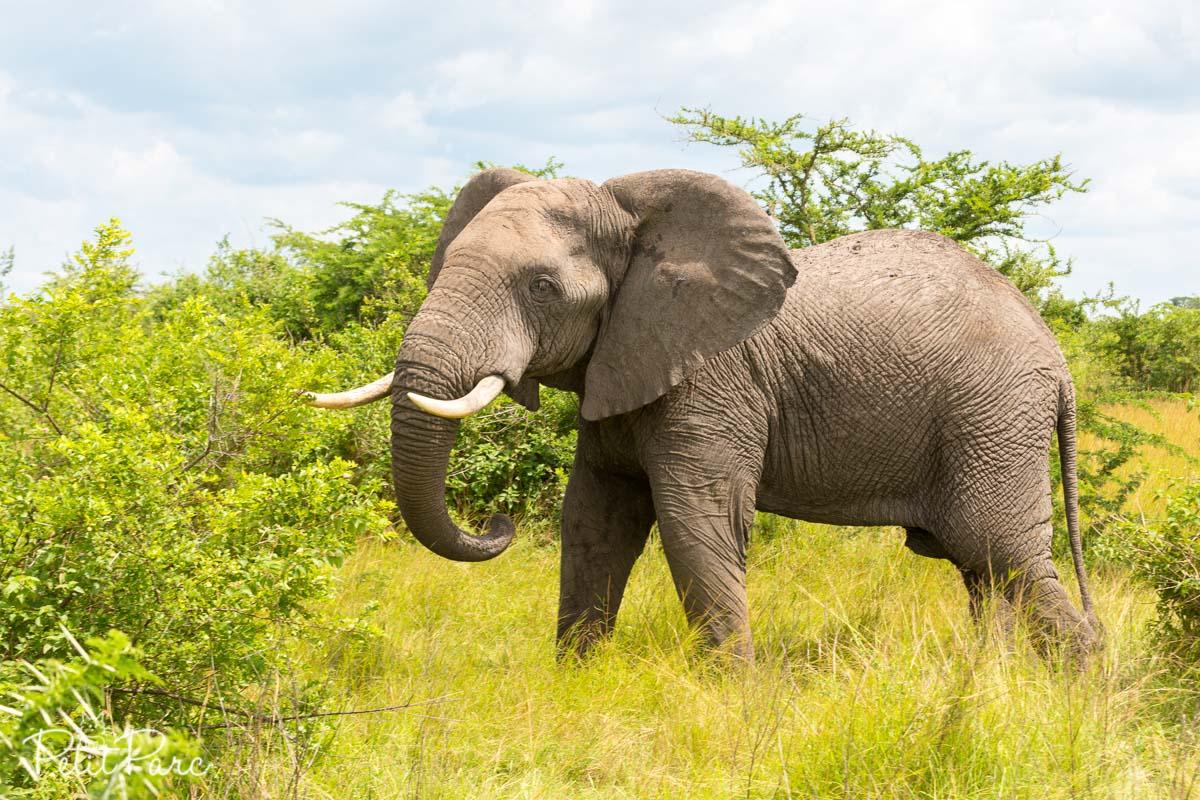 Eléphant dAfrique
