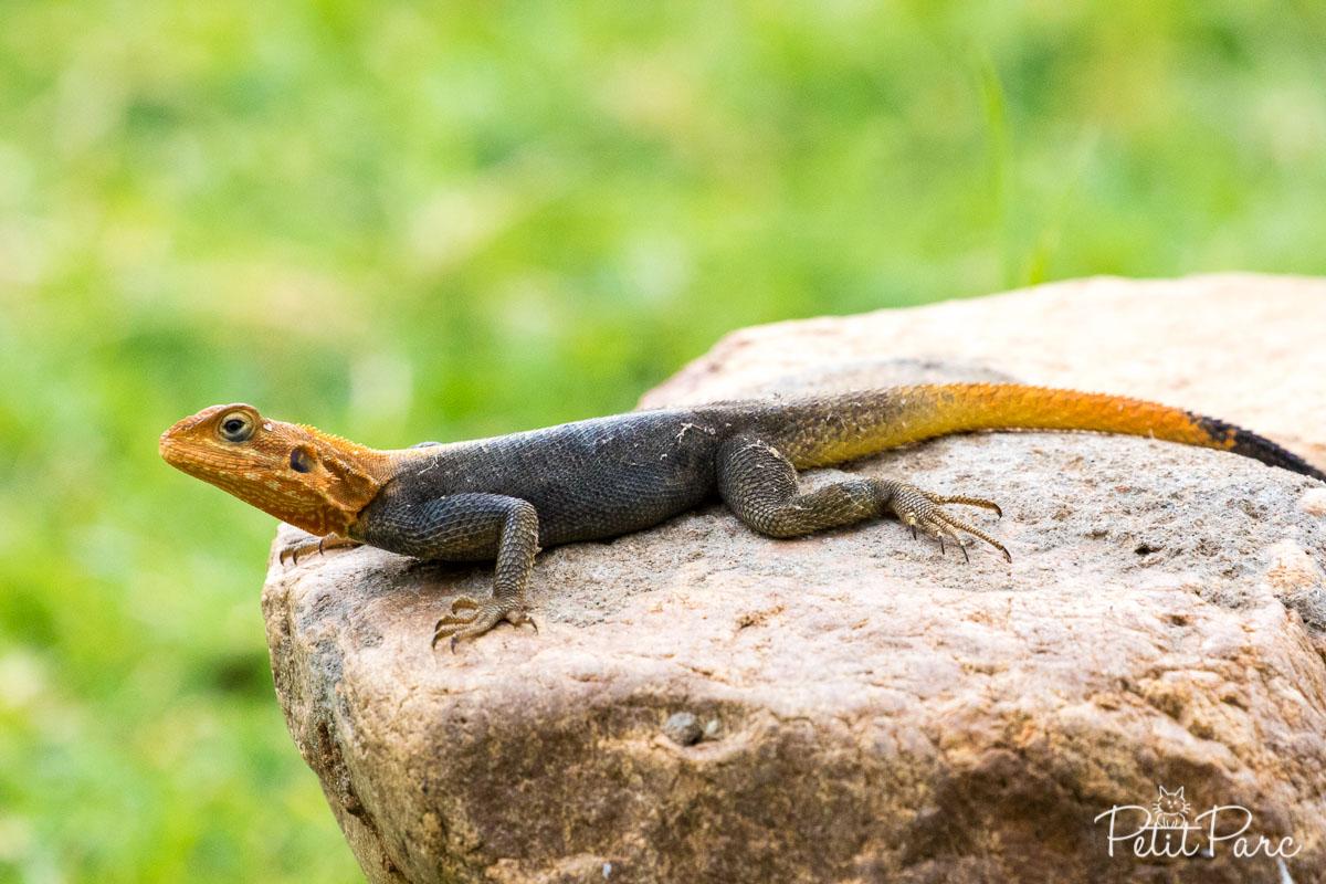 Un des nombreux petits lézards d'Ouganda