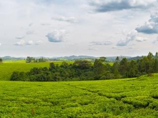 Des plantations de thé