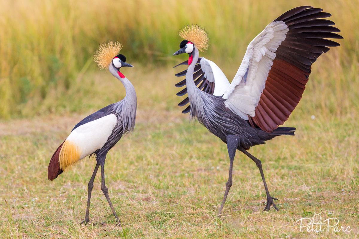 Grue royale, emblème de l'Ouganda