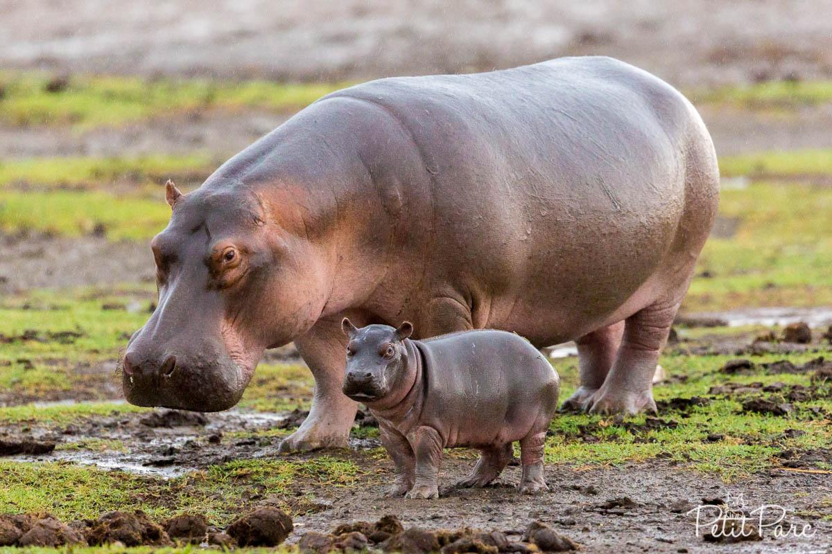 Hippopotames