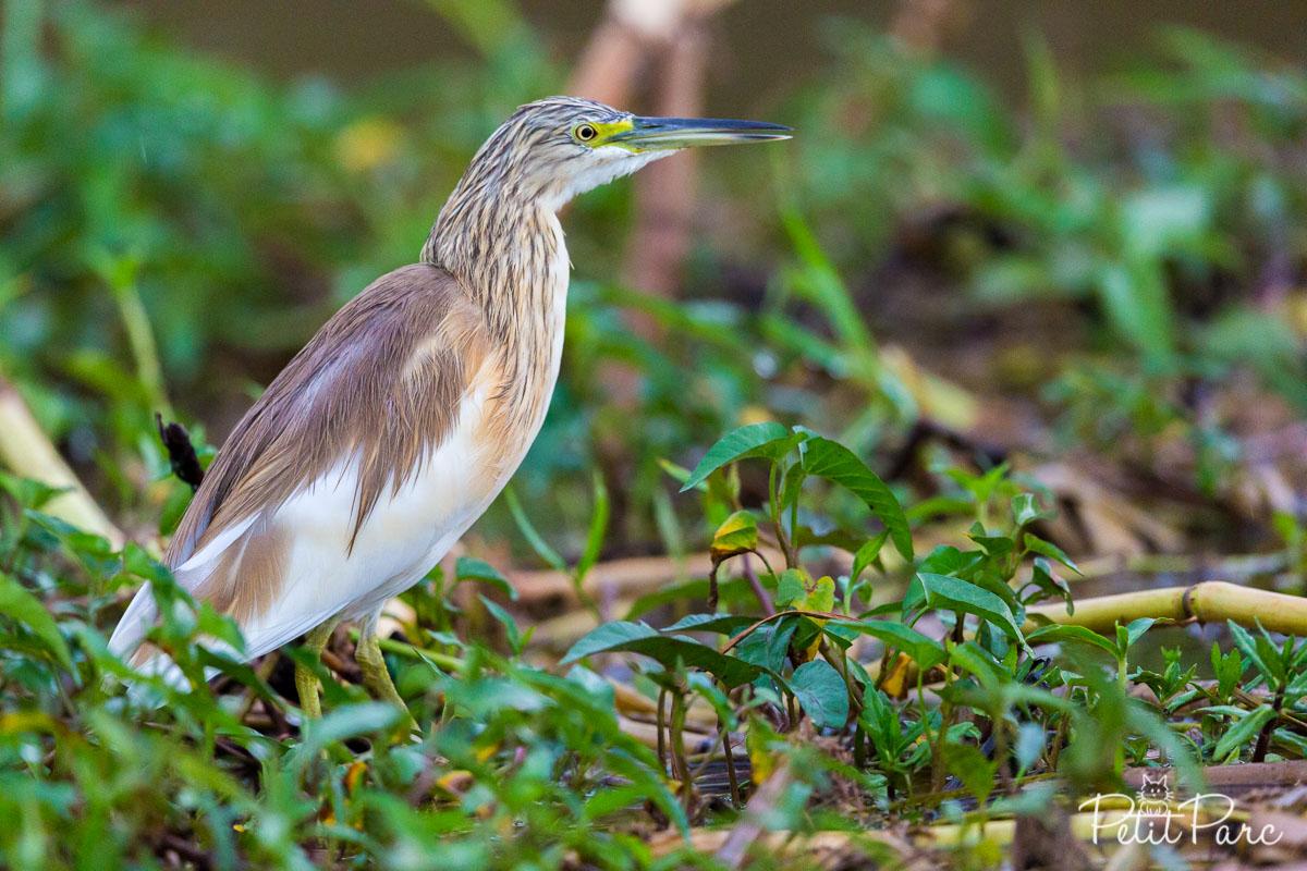 Crabier chevelu le long du canal de Kazinga