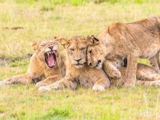 Une famille de lions à Queen Elizabeth