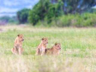 Famille de lions à Queen Elizabeth