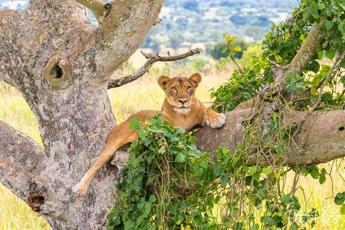 Lionne dans un arbre