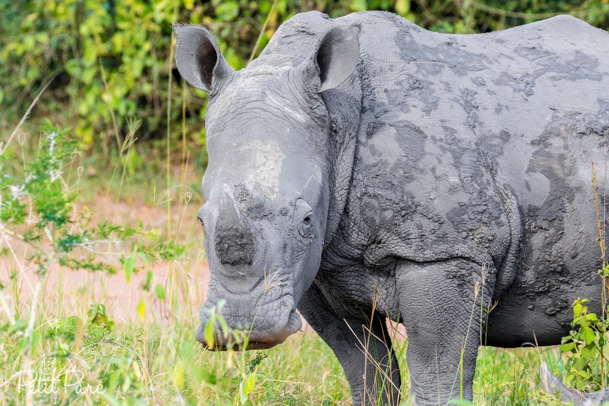 Rhinocéros blanc à Ziwa