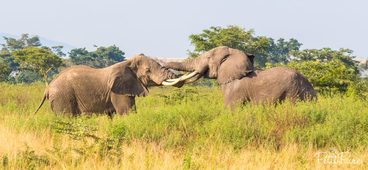 Combat d'éléphants dAfrique