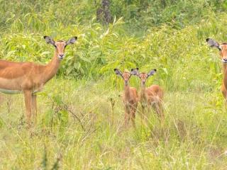 Famille d'impalas