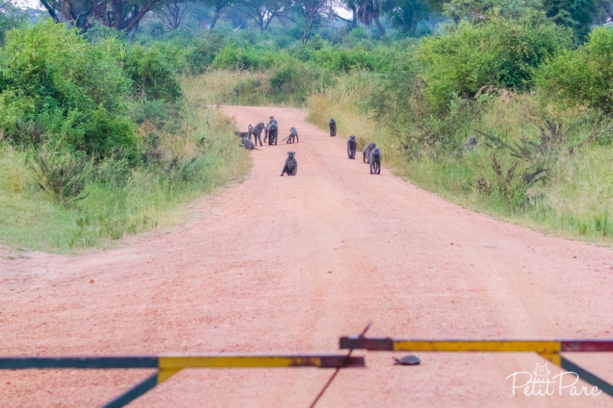 Babouins Ouganda