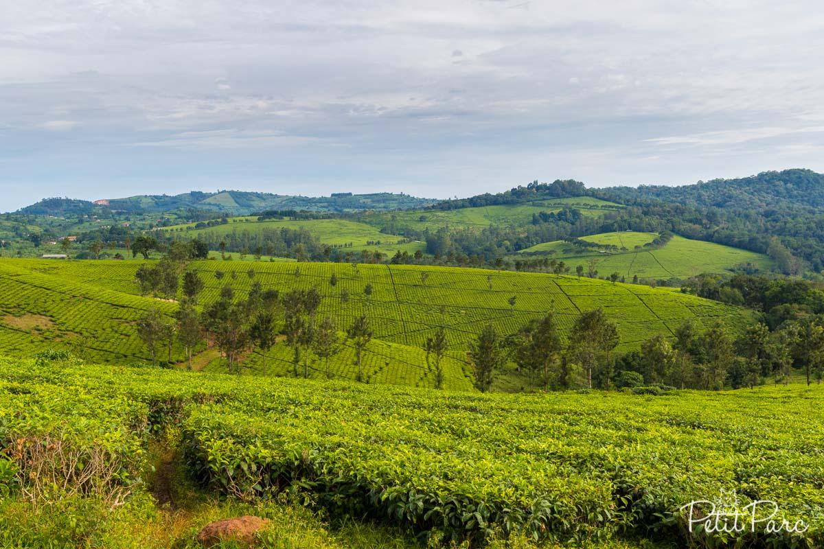 Des champs de thé à perte de vue...